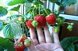 Домашнюю ягодницу легко выращивать