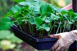 Средство Флоравит ускоряет вегетацию растения.