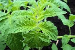 Агрохелп способствует регенерации организма растений на клеточном уровне.