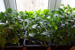 Средство Агросев био поддерживает и ускоряет рост.